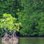 Mangrove Sites in India: What are their characteristics?